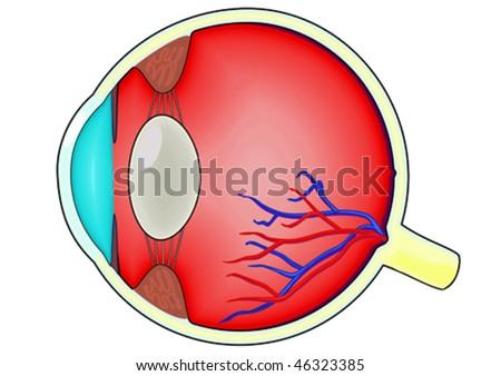 Anatomical diagram of the human eye