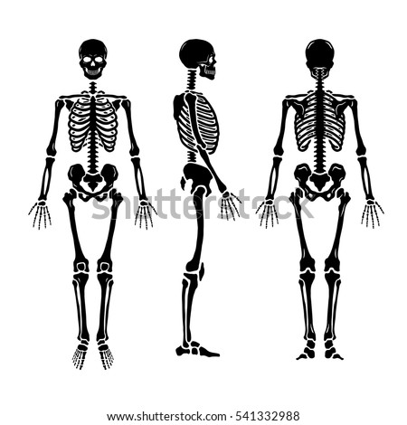 Anatomical human skeleton, in three positions.