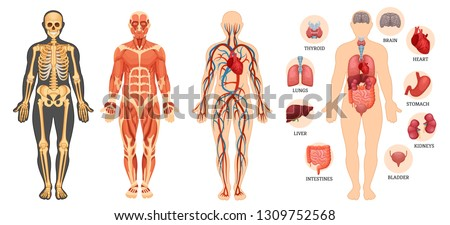 Anatomical structure of human body, skeleton, muscular system, system of blood vessels with arteries, veins, organs human. Medical anatomy, detailed human system in full growth. Vector illustration.