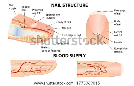 Anatomical training poster. Fingernail Anatomy. Cross-section of the finger. Structure of human nail.  Stockfoto ©