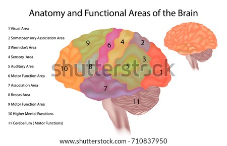 Anatomy and Functional Areas of the Brain. Brain anatomy - A side view illustration of the human brain with areas