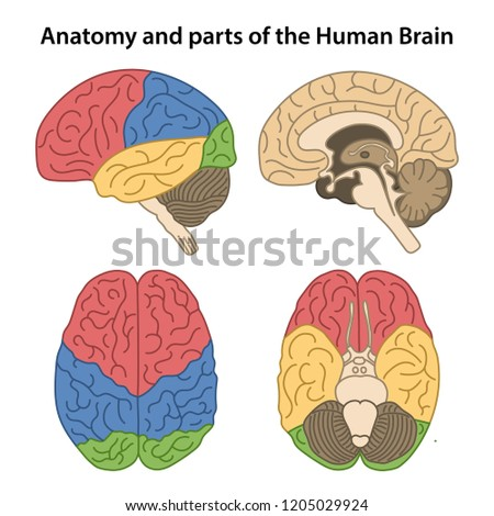 Anatomy and parts of the human brain. Lateral, superior, inferior views and sagittal cut. Vector illustration
