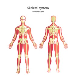 Anatomy guide of human skeleton. Didactic board of bony system. Front and rear view. Vector Illustration.