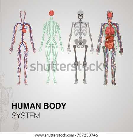 Human anatomy download free vector art stock graphics images anatomy human body systems ccuart Image collections