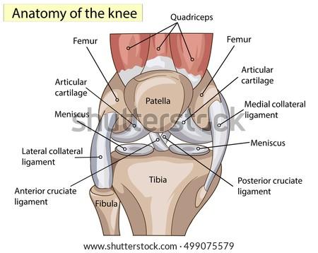 anatomy knee joint cross