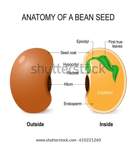 anatomy of a bean seed vector