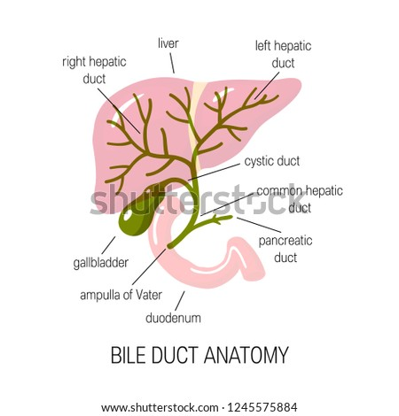Anatomy of a bile duct. Vector illustration in flat style for medical articles, infographics or educational textbooks Stock photo ©