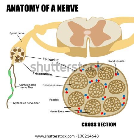 Royalty Free Anatomy Of A Nerve 98133089 Stock Photo Avopix
