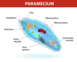 Anatomy of a paramecium. Vector diagram. Ciliate protozoan that lives in stagnant freshwater. Paramecium covered with cilia, which allow it to move about and to feed on bacteria.