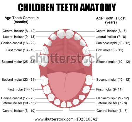 anatomy of children teeth shows eruption and shedding. Black Bedroom Furniture Sets. Home Design Ideas