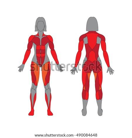 anatomy of female muscular