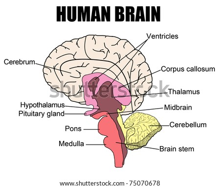 vector human brain diagram side\u2026 stock photo 74430700 avopix comside view with parts ( cerebrum, hypothalamus, thalamus, pituitary · anatomy of human brain, vector illustration (for basic medical education,