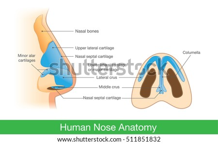 anatomy of human nose in side