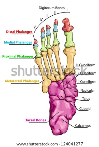 Anatomy of leg and foot human muscular and bones system