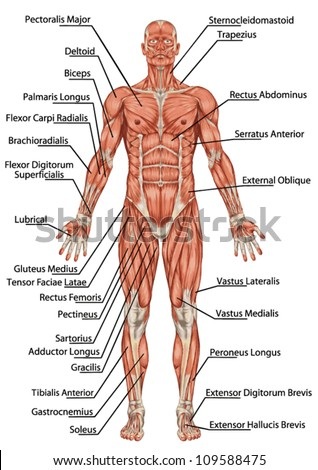 ... of man muscular system - anterior view - didactic - stock vector