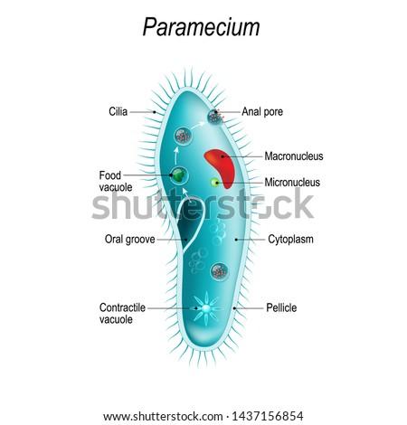 Anatomy of Paramecium caudatum. Vector diagram for educational, science, and biological use