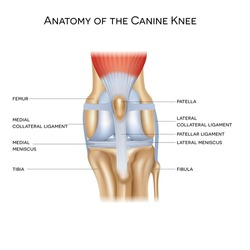 Anatomy of the canine (dog's) knee joint colorful design, healthy joint info poster illustration.