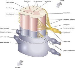 anatomy of the Central nervous system Spinal cord. Spinal nerves. In section.
