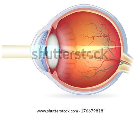 Eye Anatomy Vector - Download Free Vector Art, Stock Graphics & Images