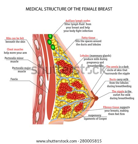 anatomy of the female breast