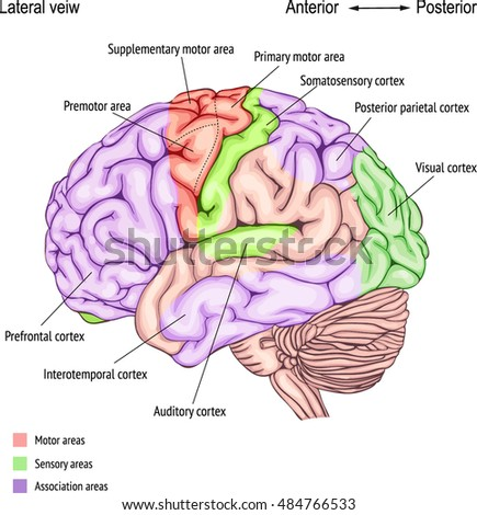 how you use your cerebral cortex in everyday functions What is the main function of each of the parts of the cerebral cortex what would happen if we could use 100% of our brain how does the cerebral cortex relate to consciousness and how we process the world around us.