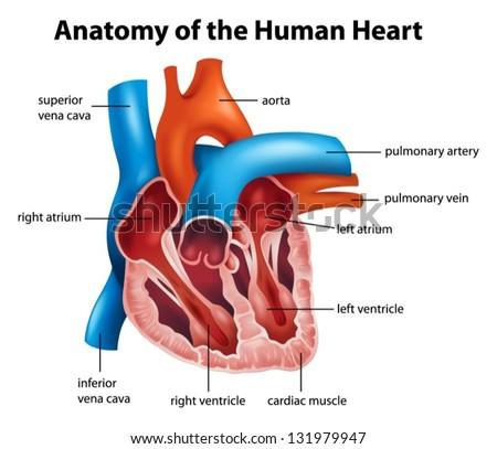 Human Heart Vector - Download Free Vector Art, Stock Graphics & Images