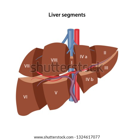 Anatomy of the human liver. 3D model of the livers segments. Vector illustration isolated over white background.