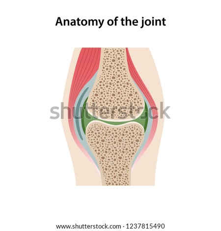 Anatomy of the joint. Image of the structure of a healthy joint is isolated on a white background. Vector illustration