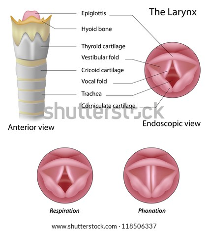 Anatomy of the larynx