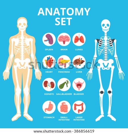 Anatomy set, anatomy infographics. Human Internal organs icons set, body structure, skeleton. Flat illustration graphic for web sites, web banners, infographics, printed materials. Vector illustration stock photo