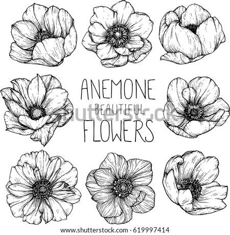 Anemone flowers drawing illustration vector and clip-art. #619997414