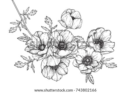 Anemone flowers drawing with line-art on white backgrounds. #743802166