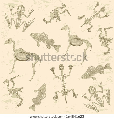 animals anatomy  skeleton of