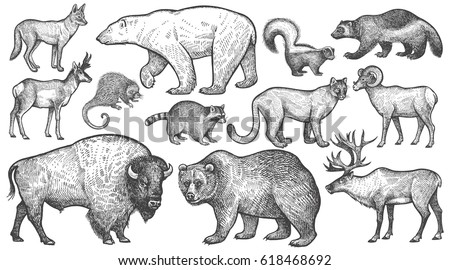 Shutterstock Animals of North America big set. Polar bear, coyote, puma, skunk, wolverine, horned antelope, raccoon, porcupine, reindeer, steppe ram, bison, grizzly bear. Vector illustration art. Vintage engraving