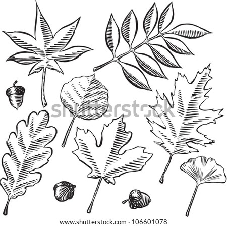 Antique etching style vector illustration of various tree leaves and acorns, isolated on white.