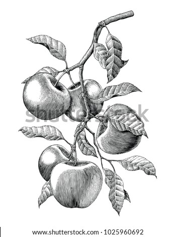 apple branch hand drawing