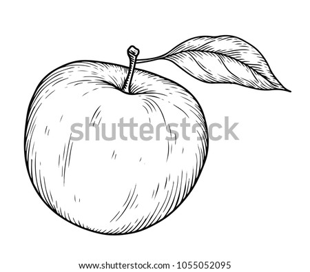 Apple fruit vector illustration. Engraved organic food hand drawn sketch engraving illustration. Black white apple isolated on white background.