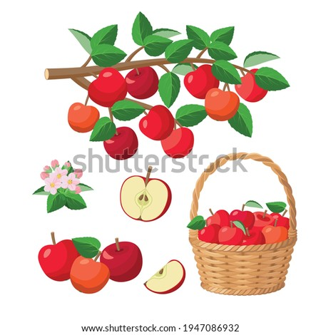 Apple harvest, red apples in basket, on branch, halved apple, red juicy fruits - vector illustration isolated on white background.