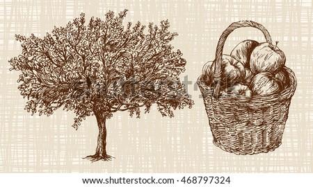 apple tree  basket of apples.
