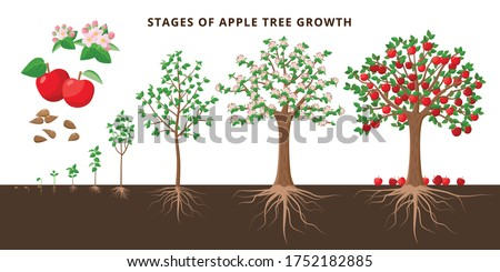 Apple tree growing stages - vector botanical illustration in flat design isolated on white background. Apple tree life cycle from seed to ripe fruit red apples, tree growing from the soil infographic.