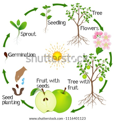 apple tree life cycle isolated