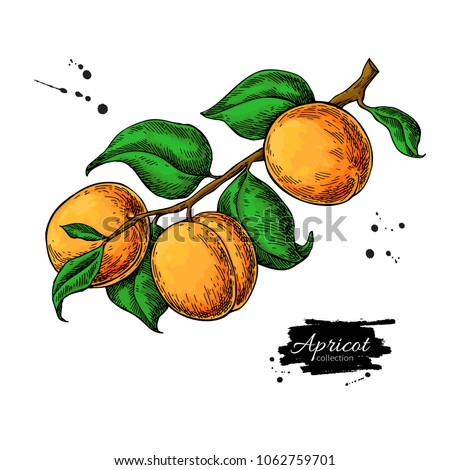 apricot branch vector drawing