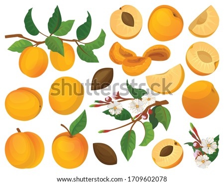apricot of fruit vector cartoon