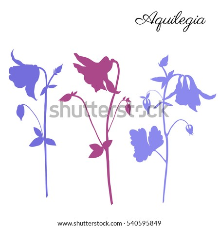 aquilegia flower hand drawn...