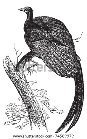 Argus giganteus or Great pheasant, common specie of pheasant old engraving. Old engraved illustration, in vector, of a Great argus bird.