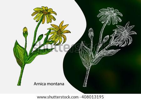 arnica montana hand drawn