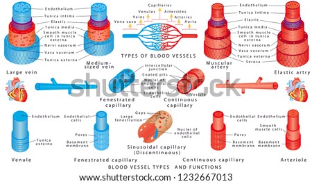 Arteries and veins. Structure of blood vessels. Blood vessel types and functions. Anatomy of blood vessels from artery through capillaries to vein. Scheme of the walls of the artery and vein