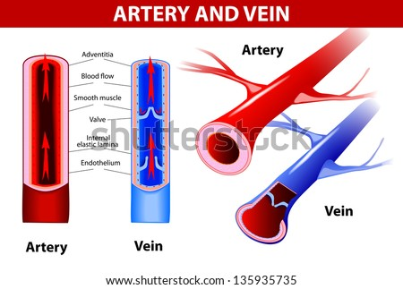 artery and vein. Circulatory system. Vector. Red indicates oxygenated blood, blue indicates deoxygenated