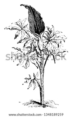 arum dracunculus is known as