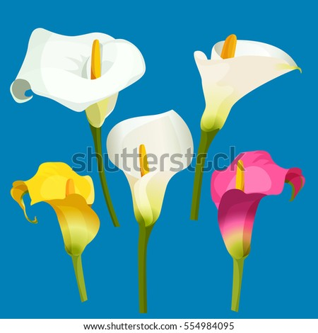 arum lily realistic vector